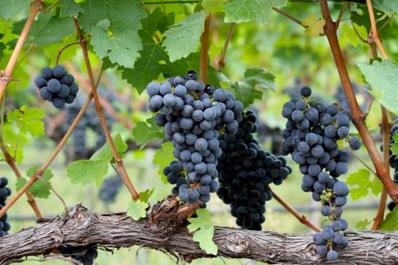 Jeszcze przed winobraniem