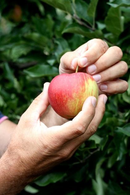 W garść, do góry i ukręcamy ogonek - sposób na zrywanie jabłek