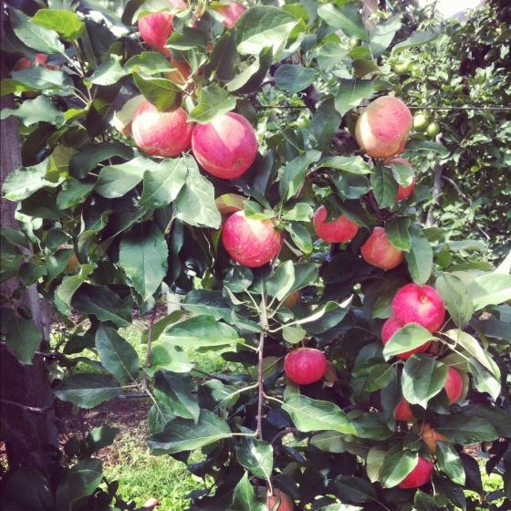 Sady jabłkowe pod Bolzano