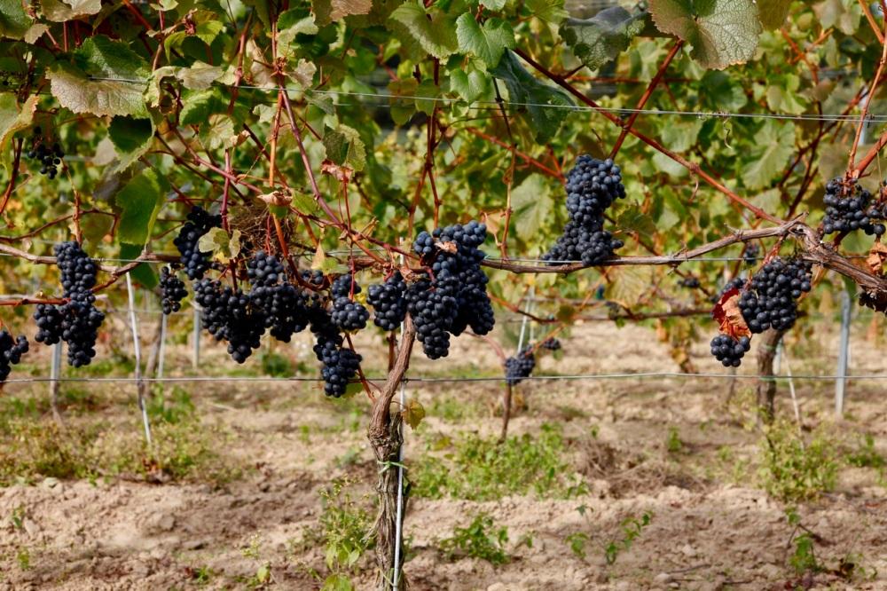 Winnica w Mierzęcinie