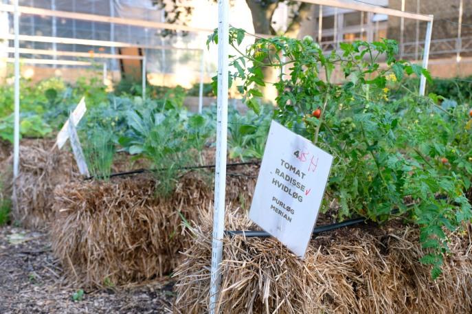 W Økologiske Folkekøkken warzywa i zioła uprawia się na belach słomy, dzięki czemu łatwiej uchronić je przed chorobami i szkodnikami.