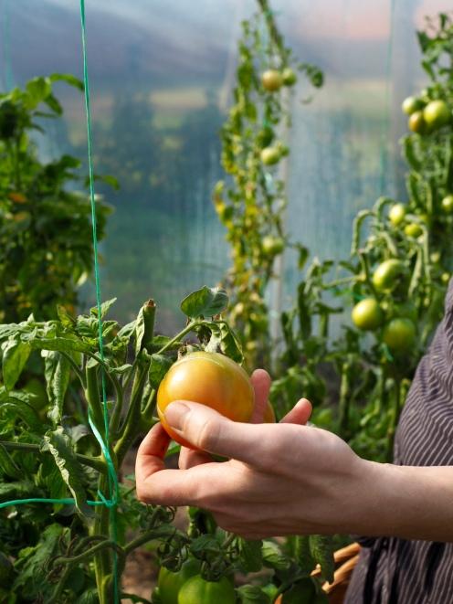 Ostatnie tegoroczne pomidory